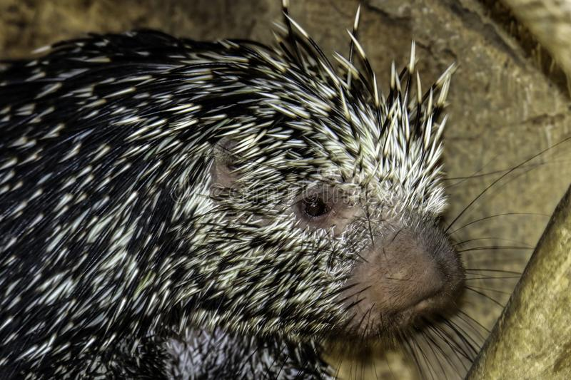 Porcupine. Close up profile portrait of prehensile-tailed porcupine royalty free stock photos