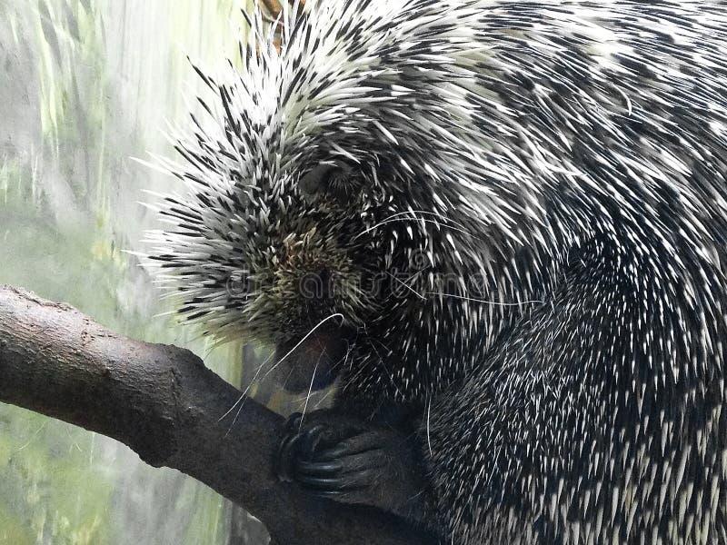 Porcupine close up royalty free stock photos