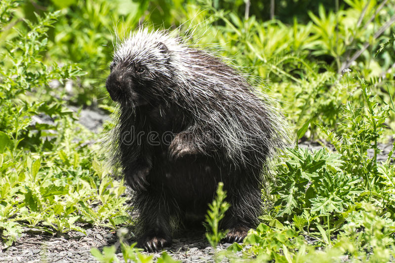 Porcupine. A curious female Porcupine standing royalty free stock photography