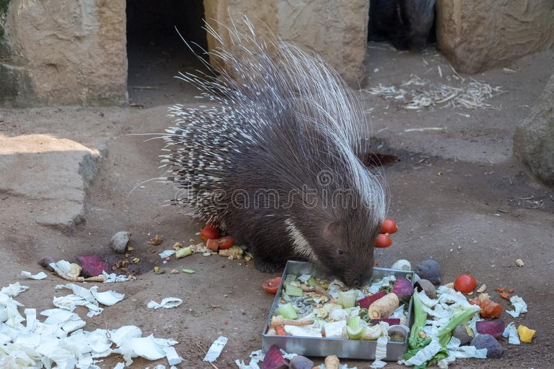 Porcupine eating beetroot outside in the paddock royalty free stock images