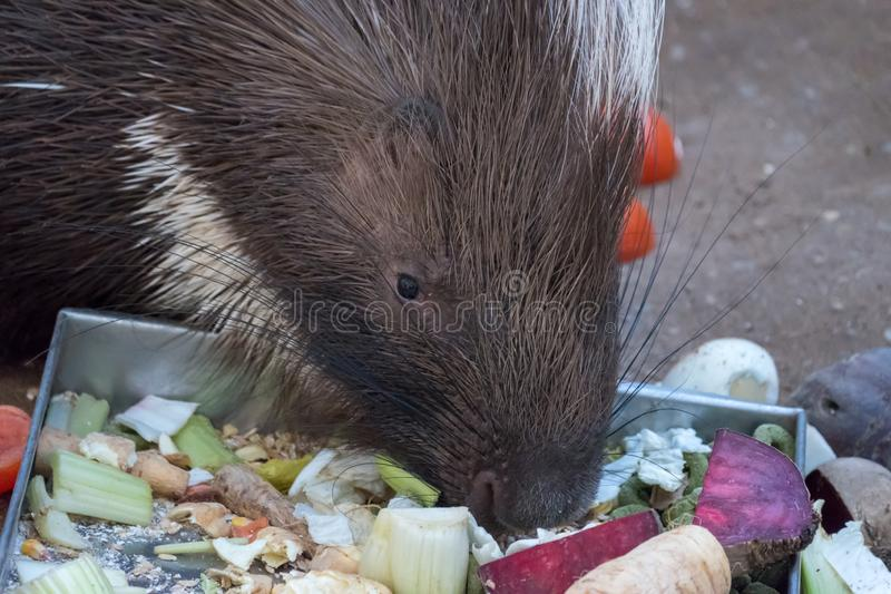 Porcupine eating beetroot outside in the paddock stock photos