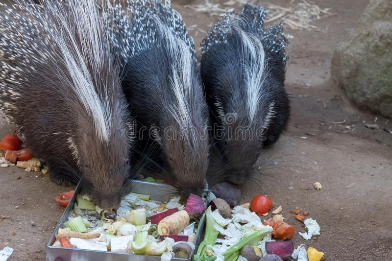 Porcupine eating beetroot outside in the paddock stock photography