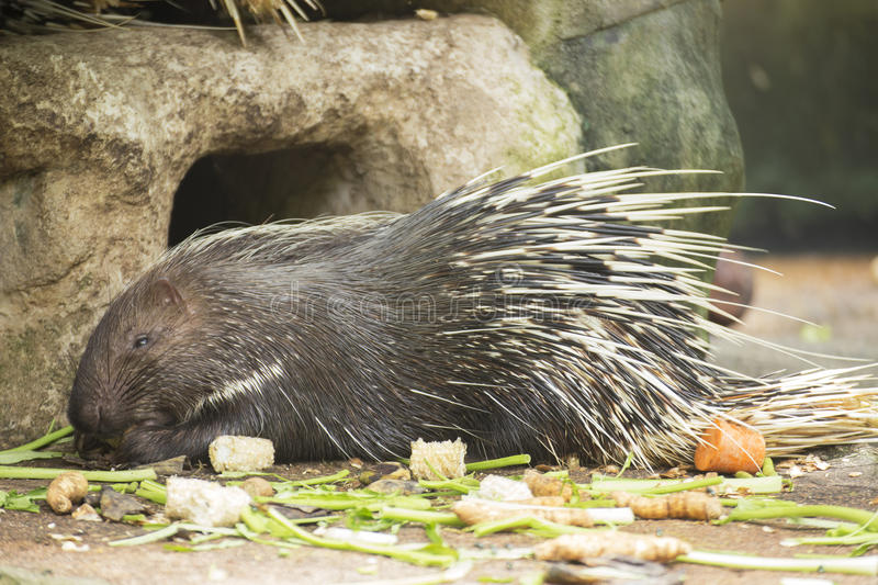 The porcupine eating. A food on the floor stock image