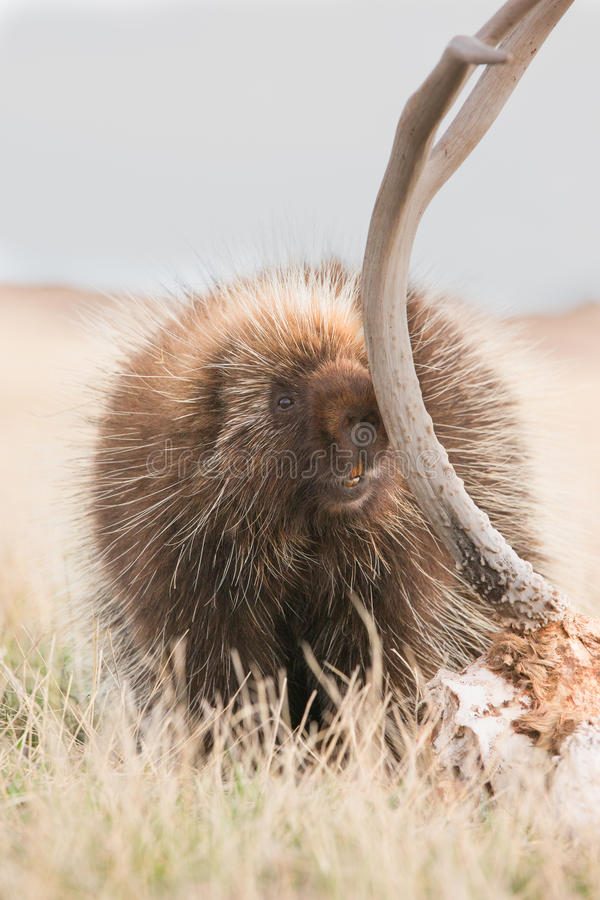 Porcupine eating old antlers stock photo