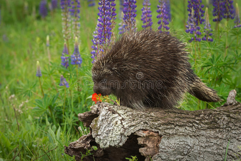 Porcupine Erethizon dorsatum Examines Flower. Captive animal stock images