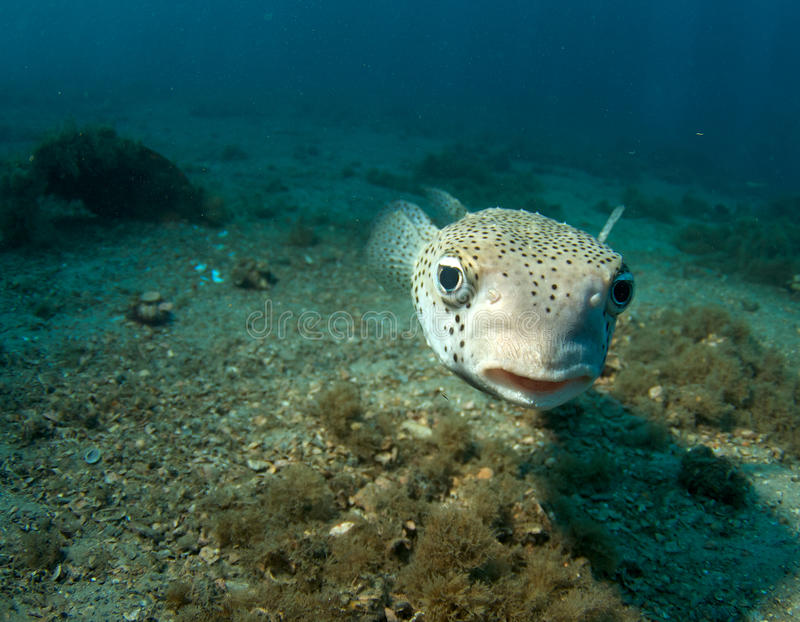 Porcupine Fish-Diodon hystix. Porcupine Fish hovering over a sandy bottom, in south east Florida stock photo