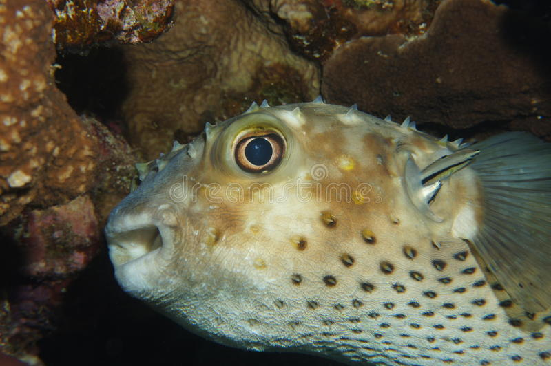 Porcupine Fish Getting Cleaned Royalty Free Stock Images