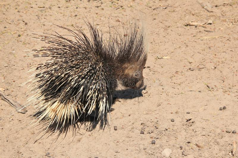 Porcupine - Free and Wild Porcupine from Africa - Black and White Quills. A Porcupine wonders away after having drunk water on a game ranch in Namibia stock images