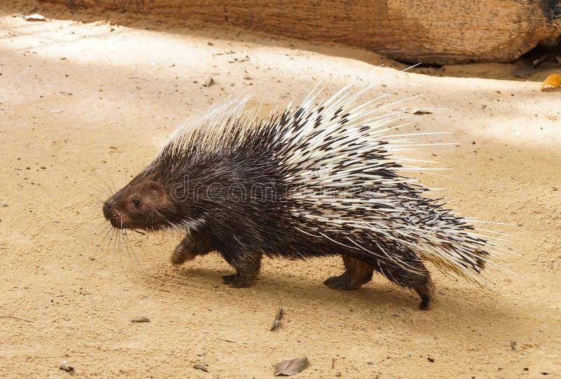 Porcupine. A fully grown porcupine walking on the sand in the zoo royalty free stock images