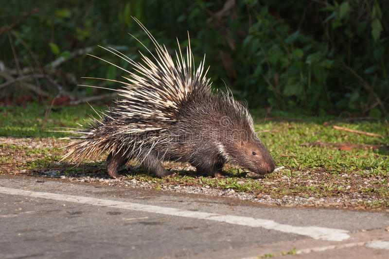 Porcupine on the grass. The porcupine seek a food on the grass royalty free stock photo