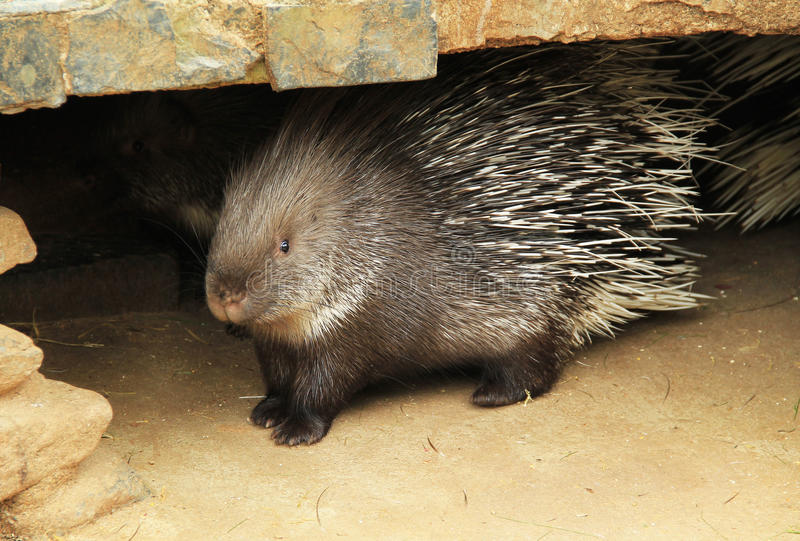 Porcupine. Indian crested porcupine Hystrix indica in the enclosure in ZOO stock images