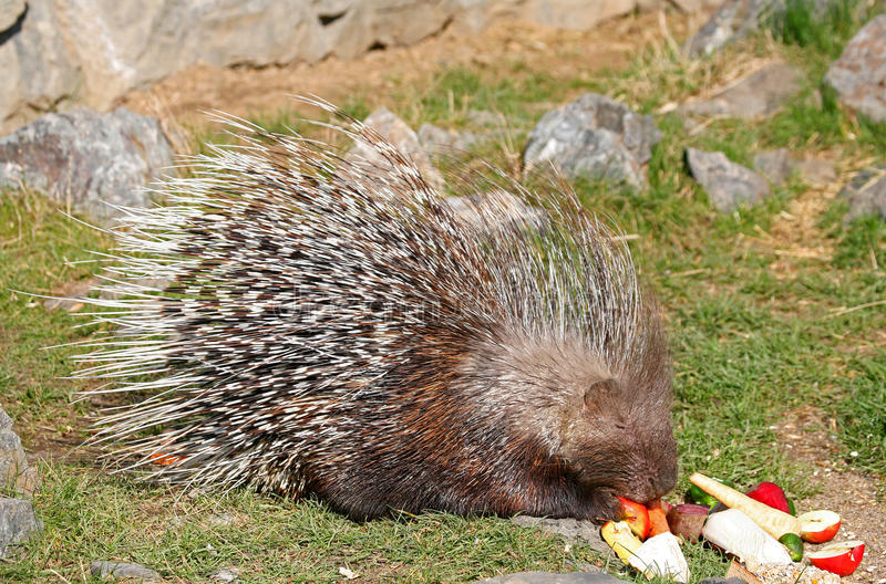 Porcupine. Indian crested porcupine. Sort:Hystrix indica royalty free stock photo