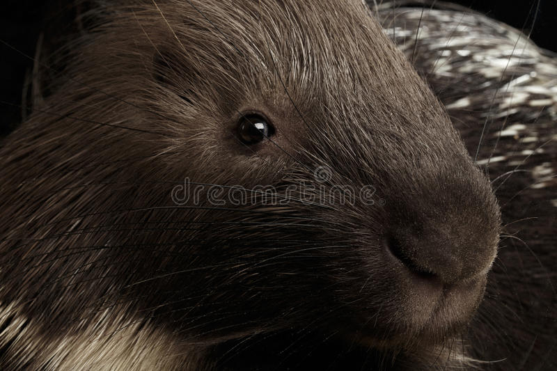 Porcupine isolated on black background. Close-up portrait of Porcupine face isolated on black background, wild animal stock images