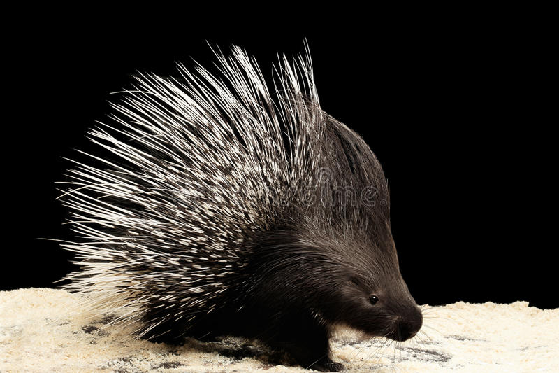 Porcupine isolated on black background. Porcupine with prickle isolated on black background, wild animal royalty free stock photography
