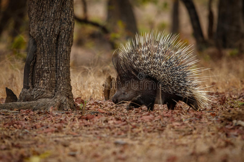 Porcupine in the nature habitat. Indian porcupine in the dayilight. Wildlife scene with very rare and elusive animal. Nocturnal animal in the beautiful indian stock images