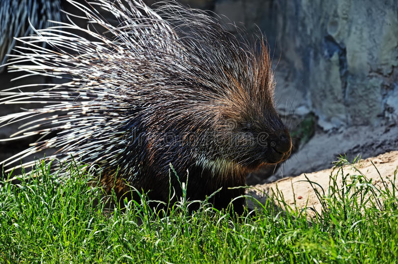 Porcupine. Portrait of Indian porcupine in the wild stock photo