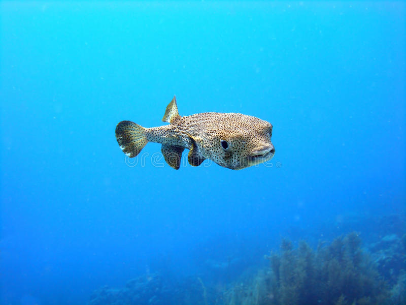 Porcupine puffer fish. A Porcupine Fish, a member of the puffer family, swims out in the clear blue water as it circles the divers. Taken on a shallow sunny dive stock photo