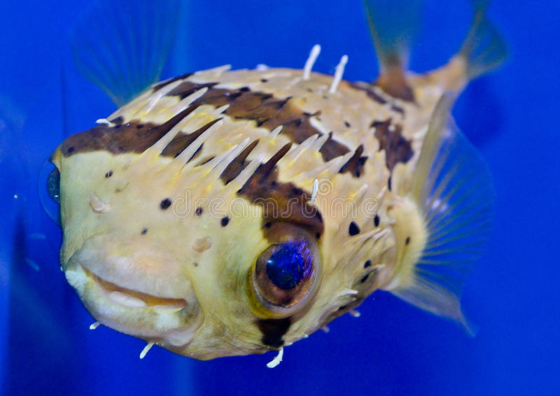 Porcupine puffer fish stock image image of diving for Puffer fish price