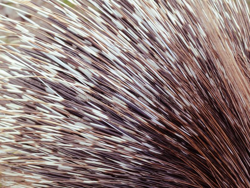 Porcupine quills. Close up, detail stock image