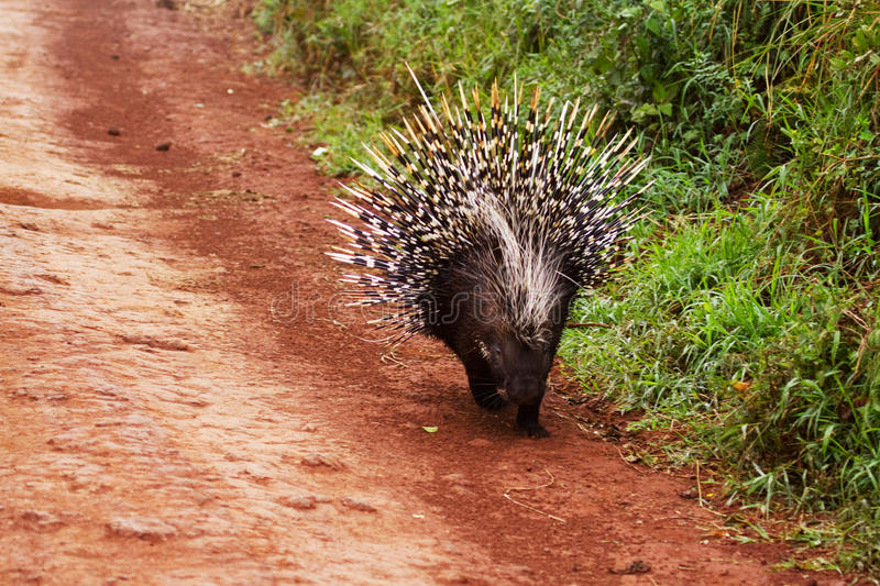 Porcupine. On road with quills extended stock photo
