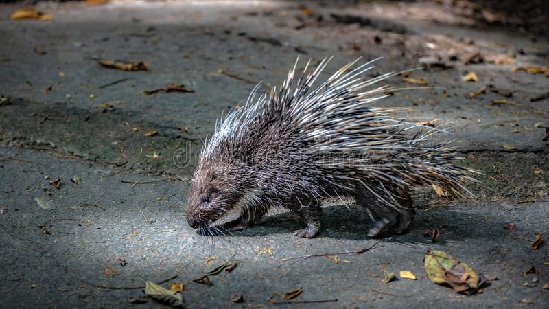 Porcupine Rodents And Sharp Spines Wildlife Animal. Porcupine Rodents Wildlife Animal With A Coat Of Sharp Spines royalty free stock image
