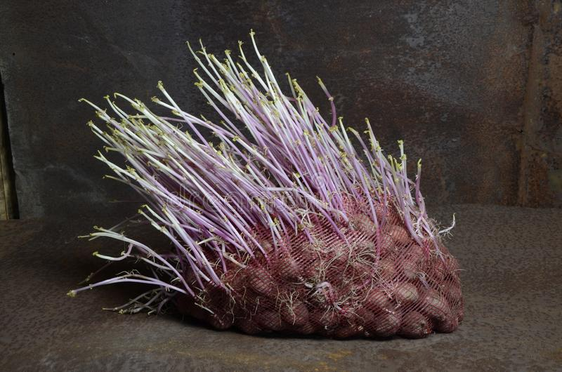 Porcupine sack of sprouted potatoes. Bag of sprouted old potatoes, similar to a porcupine. With overhead light royalty free stock image