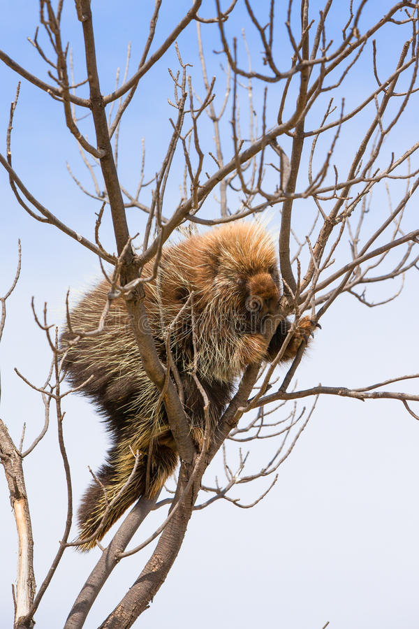 Porcupine safety. Porcupine climbing a tree for safety stock images