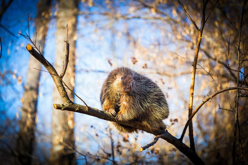 Porcupine sat high in the tree tops surveying intruders. Porcupines pronounced blue are rodents with a coat of sharp spines, or quills, that protect against royalty free stock photography