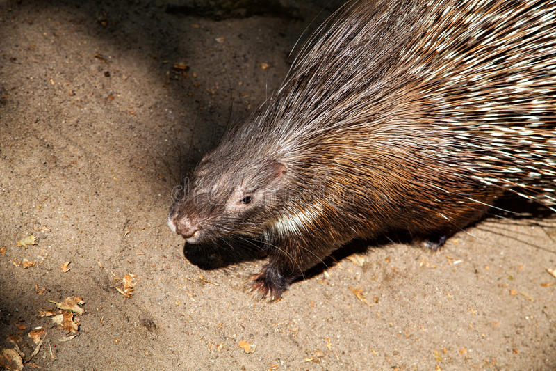 Porcupine with sharp black and white quills. In Zoo stock photo