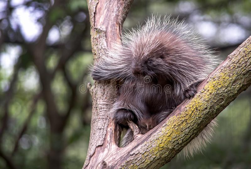 Porcupine with sharp quills in a tree. Porcupine with sharp quills, climbs in a tree in Michigan USA royalty free stock image