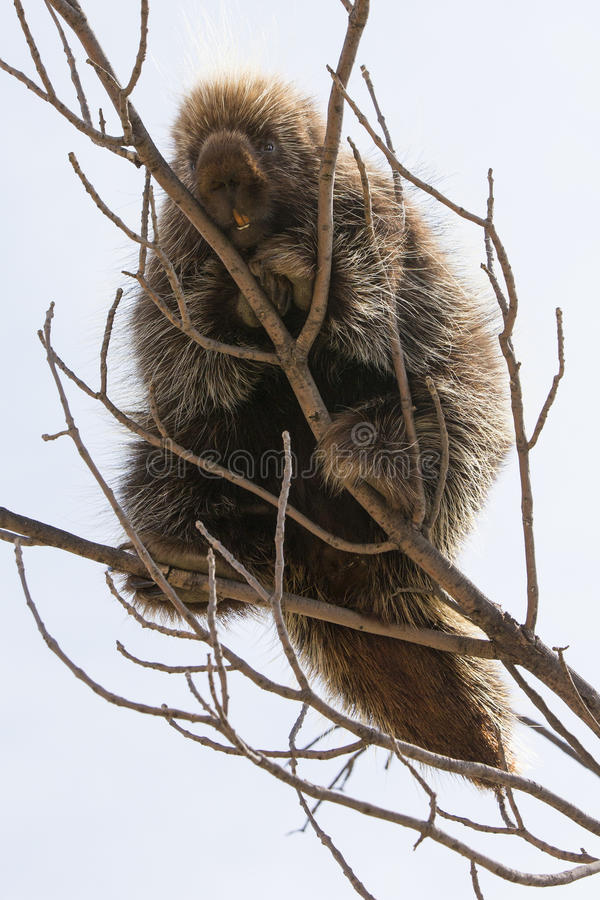 Porcupine sitting on a tree branch. Porcupine fleeing to safety in tree branch stock photos