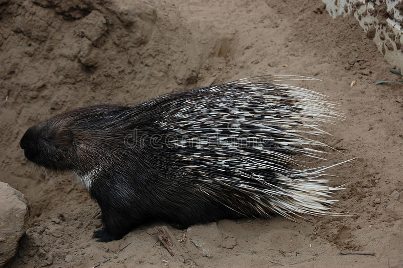 Porcupine. Sweet porcupine average food from visitors at the zoo Palic, Subotica, Serbia, 03.08.2015 royalty free stock photo