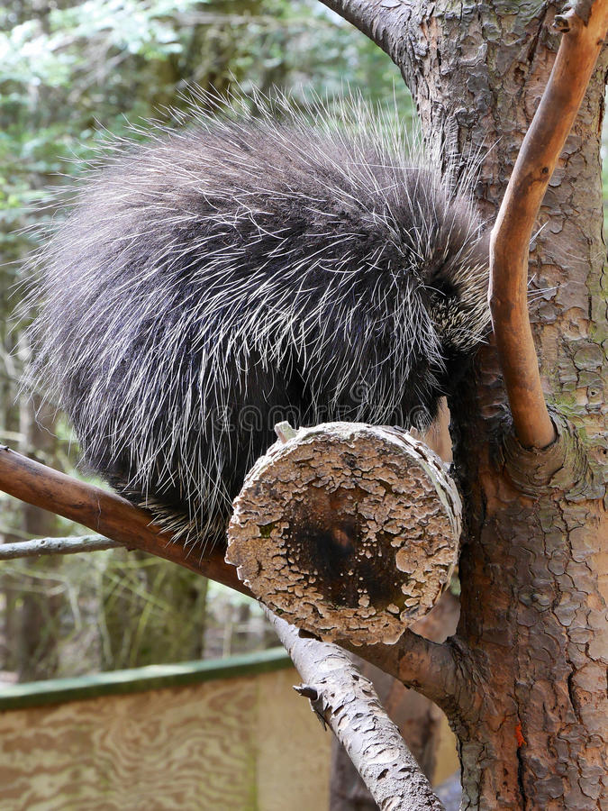 Porcupine in Tree. An American Porcupine with bristling and dangerous quills in a tree. A non-cuddly mammal stock photography