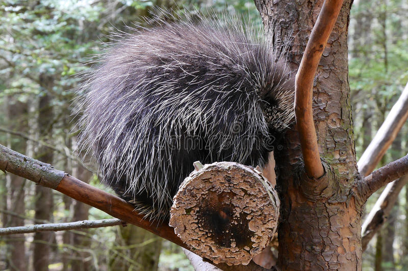 Porcupine in Tree. An American Porcupine with bristling and dangerous quills in a tree. A non-cuddly mammal stock images