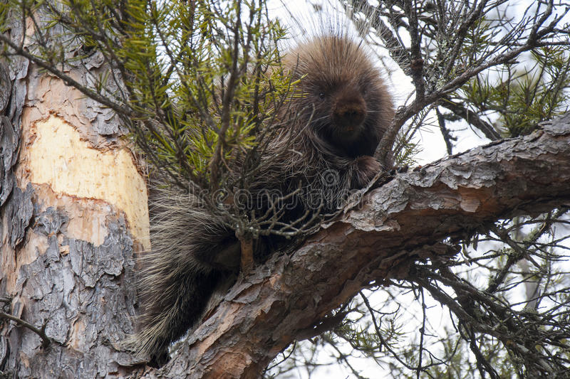 Porcupine in a Tree stock image