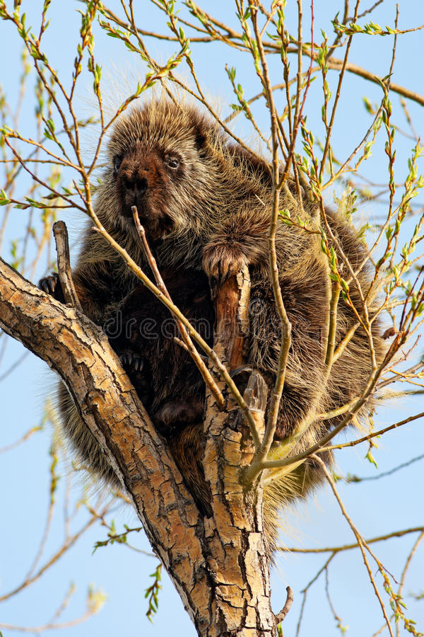 Porcupine in Tree. A porcupine sitting in a tree, calmly nibbling on the fresh spring growth. Southern alberta, Canada stock photography