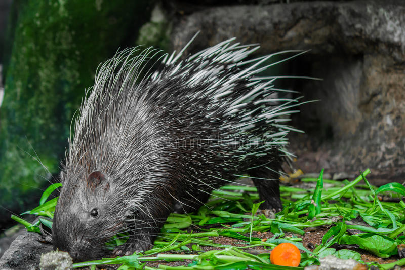 Porcupine and vegetables. royalty free stock image