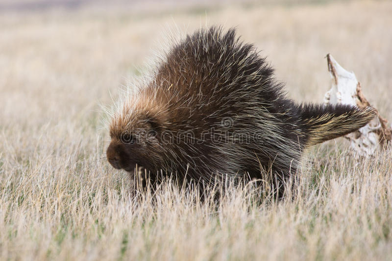 Porcupine walking along. In Oklahoma prairie stock photo
