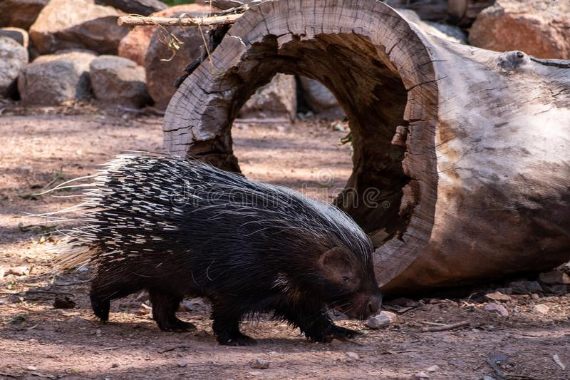 Porcupine walking in front of a hollow log. Great detail on a porcupine walking across the ground in front of a hollow log royalty free stock image