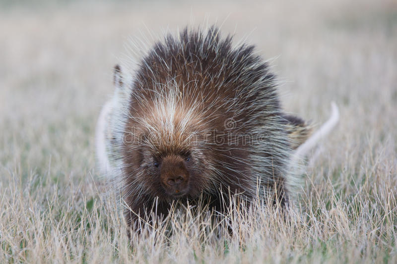 Porcupine walking in grass. In Oklahoma plains royalty free stock photography