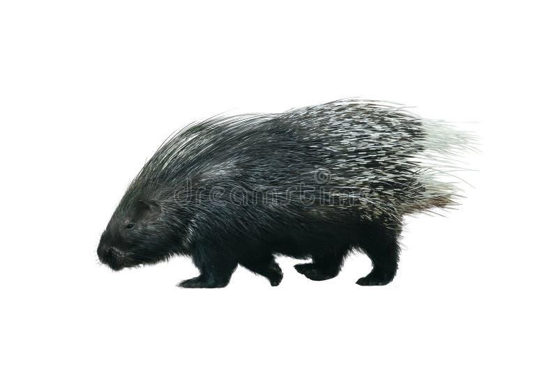 Porcupine walking isolated on white. Porcupine walking isolated over a white stock images