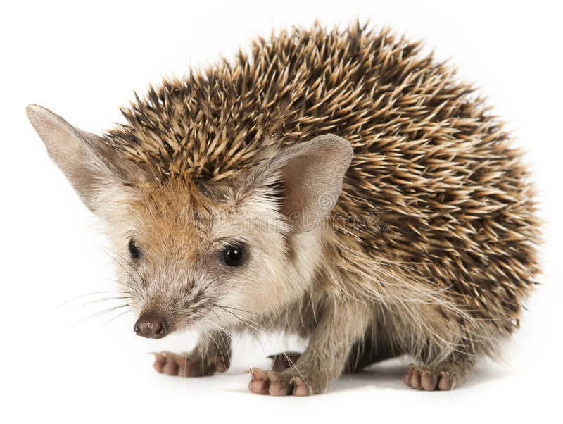 Porcupine on a white background. Porcupine on a seemless background stock photo
