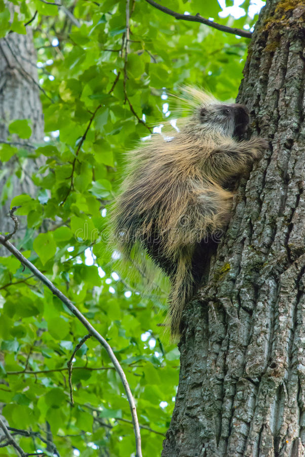 Porcupine. A wild porcupine in a tree in Alaska royalty free stock images