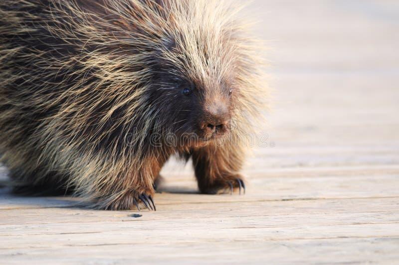 Porcupine on wood bridge in Wildlife Sanctuary royalty free stock image