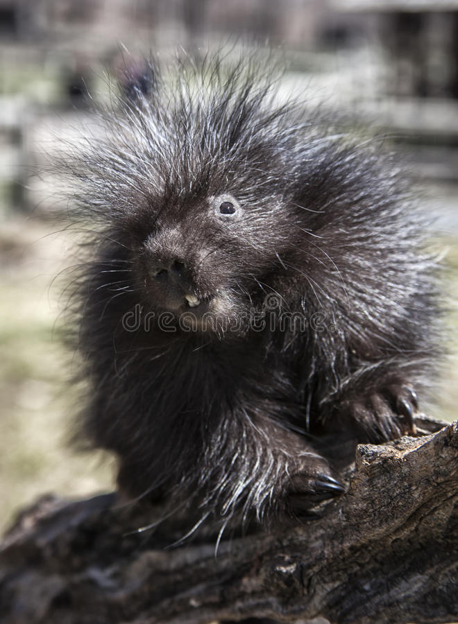 Porcupine. Young, baby porcupine, climbing on a log. Shallow depth of field stock photo