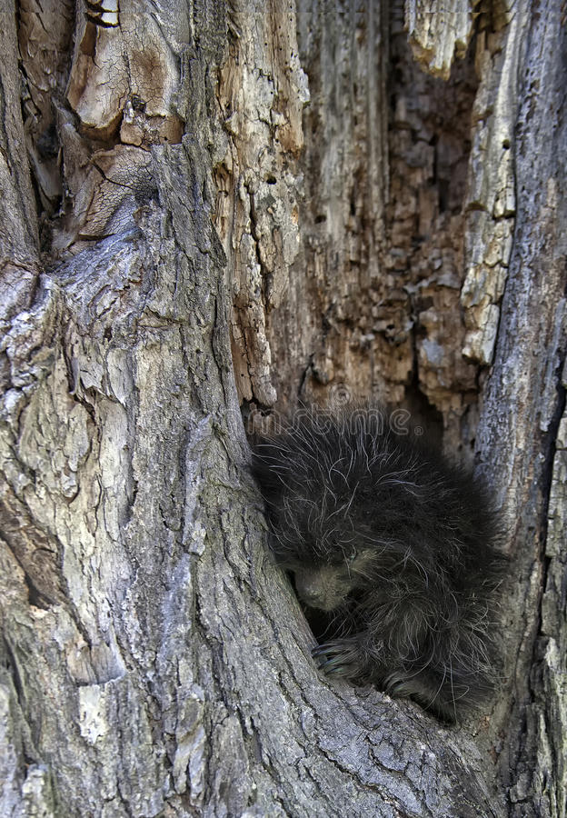 Porcupine. Young, baby porcupine in the crook of a tree. Springtime in Wisconsin royalty free stock photo
