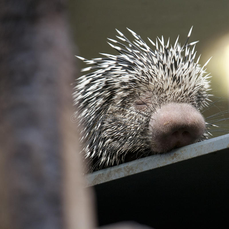 Porcupine. Young, small porcupine, which is sleeping stock image