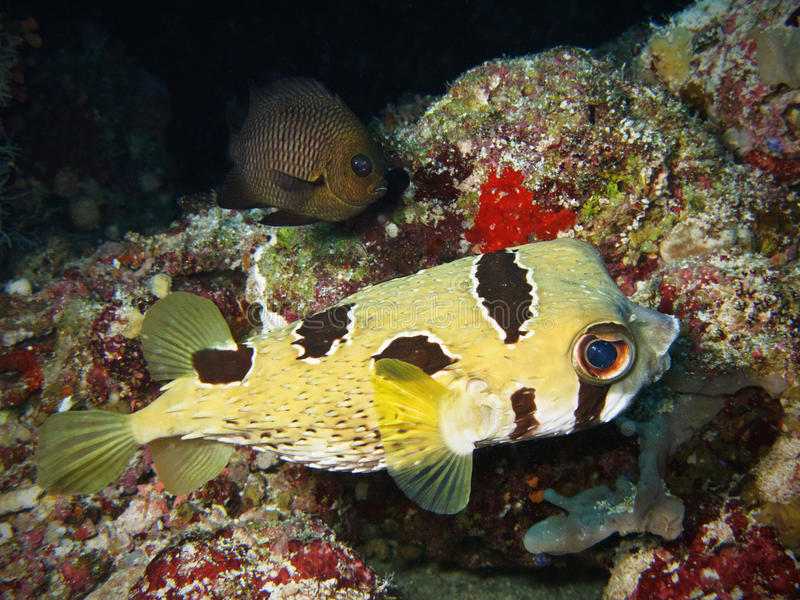 Porcupinefish foto de stock royalty free