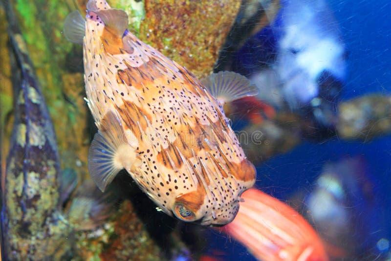 Porcupinefish royaltyfria foton