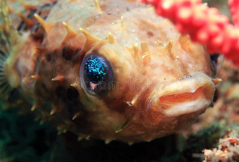 Porcupinefish arrotondato immagine stock libera da diritti